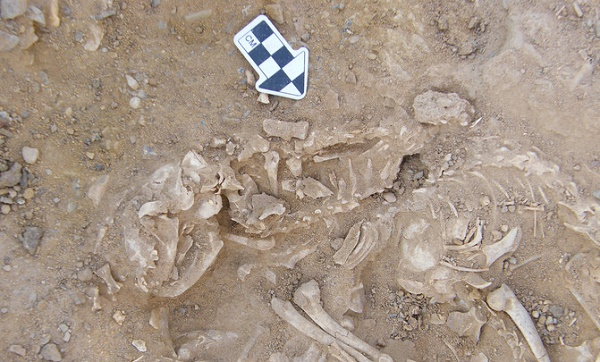 Restos de gatos de 6.000 años de antiguedad en Egypt./ Hierakonpolis Expedition